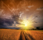 Rural landscape with wheat field on sunset — ストック写真