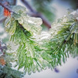 Closeup of a pine tree - Stock Photo