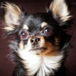 Long-hair Chihuahua dog — Stock Photo #4955664