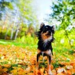 Long-haired Chihuahua dog in a park — Stock Photo