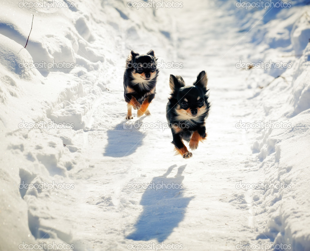 Long-haired Chihuahua dog running on snowy road | Stock Photo © Julia ...
