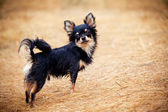 Long-hair Chihuahua dog outdoor portrait — Stock Photo