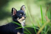 Långhårig chihuahua hunden — Stockfoto