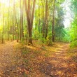 Forest Panorama — Stock Photo