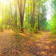 Forest Panorama — Photo