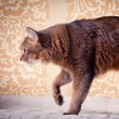 Rudy somali cat portrait — Stock Photo