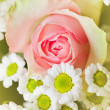 Blossom pink rose — Stock Photo