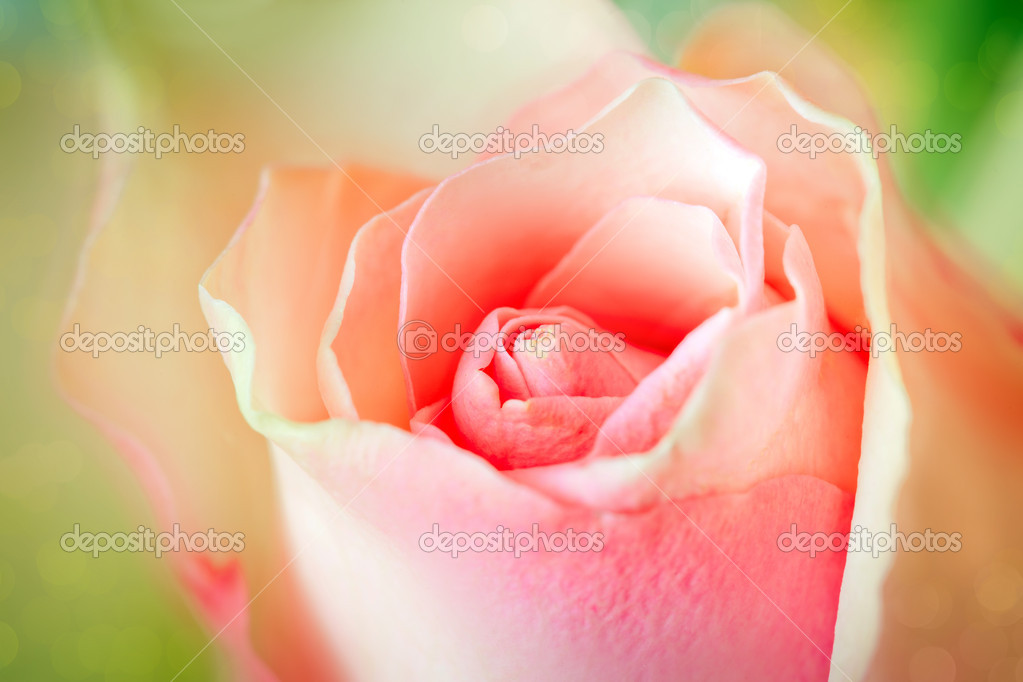 Pink rose close up — Stock Photo #5247887
