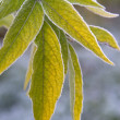Green leaves  with  frost — Stock Photo