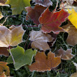 Stock Photo: Frosted fall maple leaves