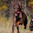 Running dog — Stock Photo #4000943
