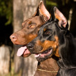 Two dogs face - Stock Photo