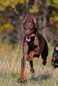 Löpande hund — Stockfoto