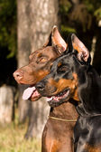 Two dogs face — Stock Photo