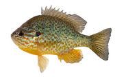 Sunfish — Stock Photo