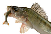 Pike perch — Stock Photo