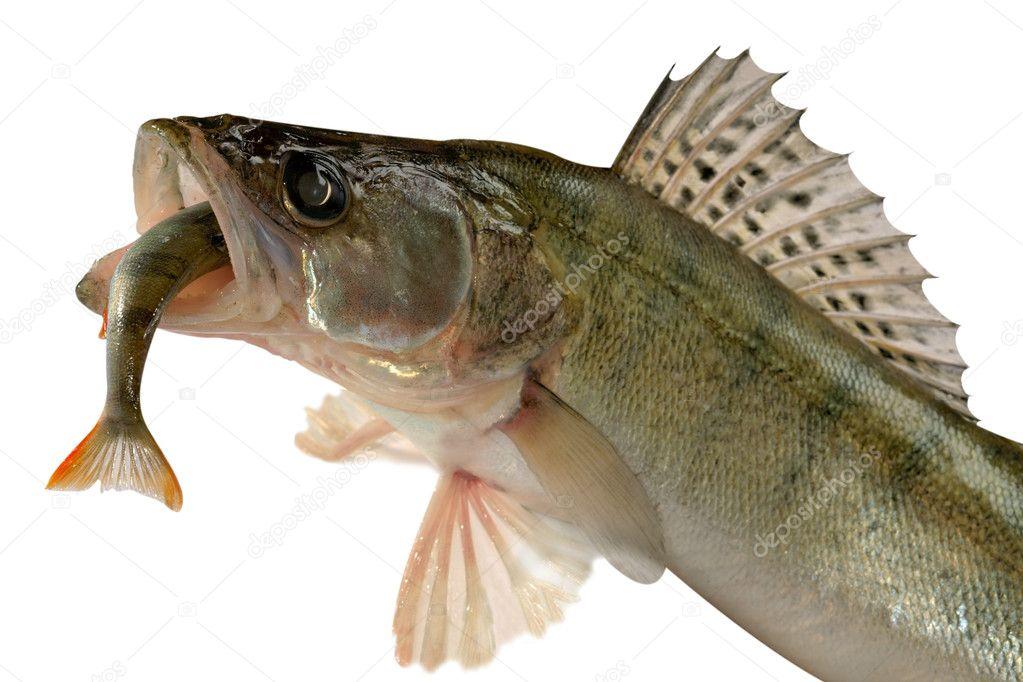 Pike perch — Stock Photo © Goruppa #4390683