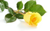Yellow rose on a white sheet of a paper — Stock Photo
