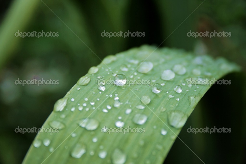Leaf of  lily of the valley with dew — Stock Photo #5074994