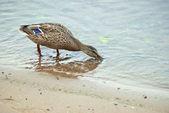 Duck-drinking water — Stock Photo