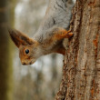 Squirrel in the park on the tree — Foto Stock