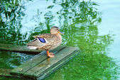 Duck preening its feathers on the bank of the river — Stock Photo