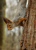 Squirrel in the park on the tree — Stock Photo