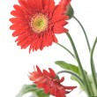 Gerbera Daisy. Focus on the first flower - Stock Photo