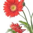 Gerbera Daisy. Focus on the first flower — Stock Photo