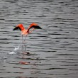 Stock Photo: Running Flamingo