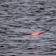 Running Flamingo — Stockfoto
