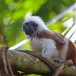 Royalty-Free Stock Photo: Cotton-top tamarin