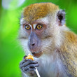 Macaque monkey — Stock Photo #4303740