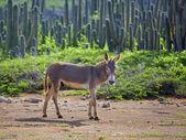 Wild donkey — Stock Photo