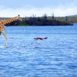 Giraffe and flamingo — Stok fotoğraf