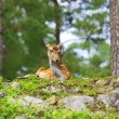 Roe deer — Foto de stock #4942917