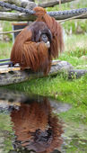 Orangutan — Foto Stock