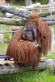 Orangutan — Stock fotografie