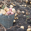 Stock Photo: Gathering harvest of potatoes
