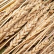 Wheat ears — Stock Photo #3928214