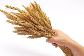 Hand hold wheat ears — Stock Photo