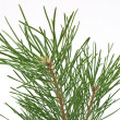 Pine branch — Stock Photo #3995571