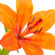 Stock Photo: Tiger lily