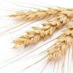espigas de trigo — Foto Stock
