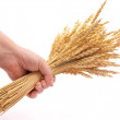 Hand hold wheat ears - Stock Photo