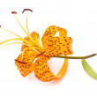 Tiger lily — Stock Photo #4667120