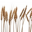 Wheat ears — Stock Photo #4995385