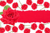 Red roses with torn paper — Stock Photo