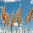 Wheat ears on the blue sky — Stock Photo