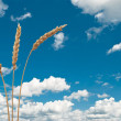 Royalty-Free Stock Photo: Wheat ears on the blue sky